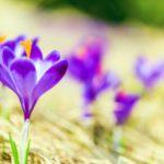 Šafran može poboljšati raspoloženje, smanjiti simptome PMS-a i pomoći da smršavite